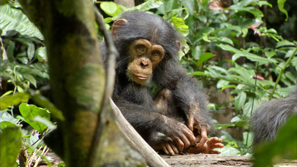 Chimpanzee Photo 6 - Large