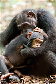 Chimpanzee Photo 24
