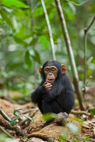 Chimpanzee Photo 29