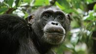 Chimpanzee Photo 5