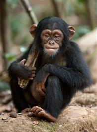 Chimpanzee Photo 23