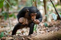 Chimpanzee Photo 17